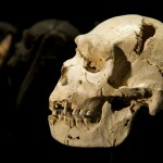The cranium and mandible of Homo heidelbergensis is seen at the Museum of Human Evolution of Burgos
